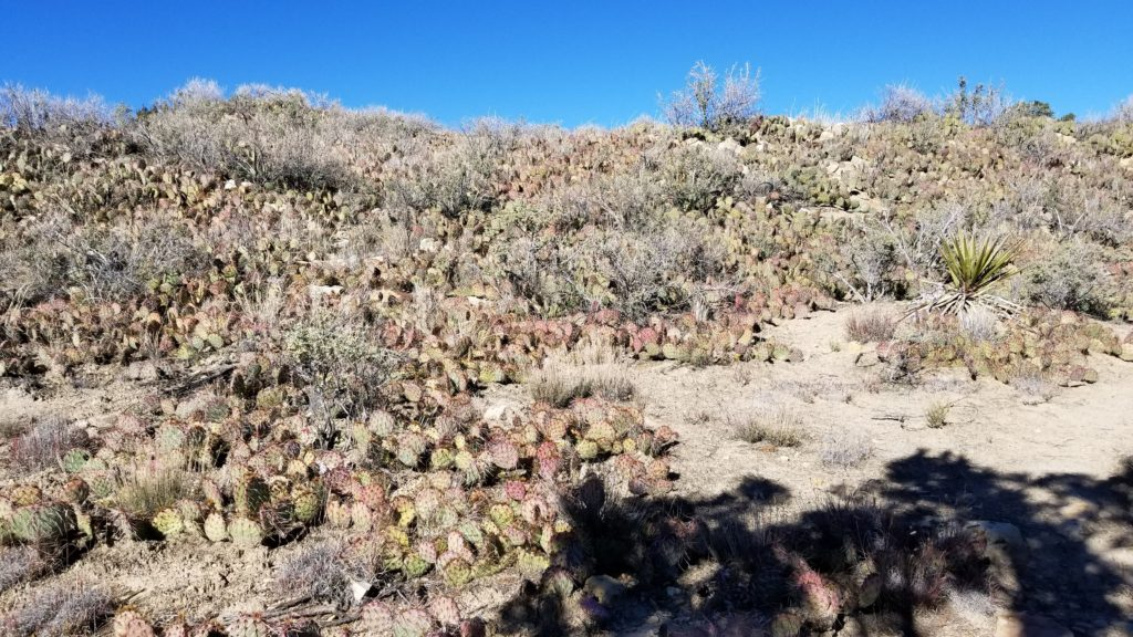 cactus bushes