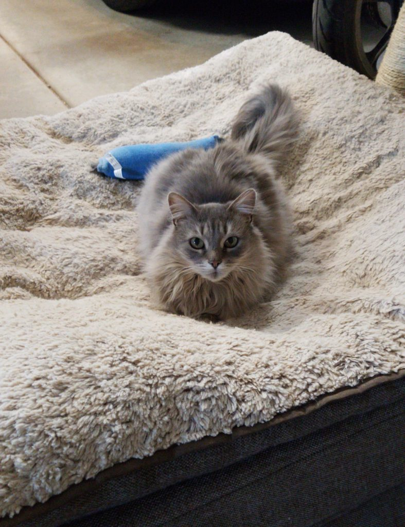 Long haired grey cat on a dog bed.