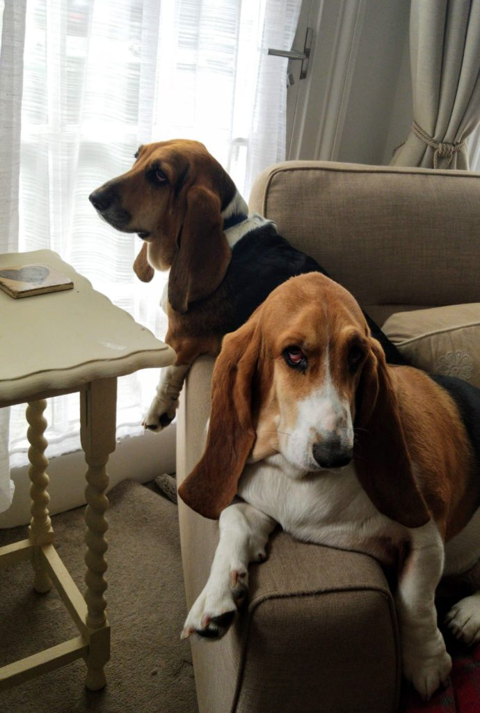 Two basset hounds sit on a chair in the living room