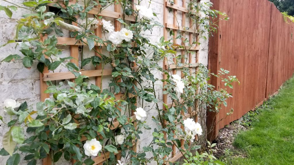 Roses bloom in the fenced in backyard