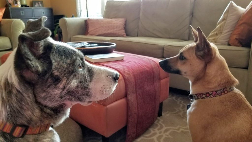 Two dogs face each other in a living room